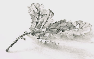 Leaves pencil drawing